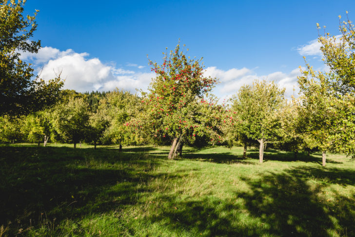 Damson Tree Orchard at Gattertop, Herefordshire